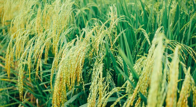 kinh nghiệm tìm nhà phân phối gạo ngon